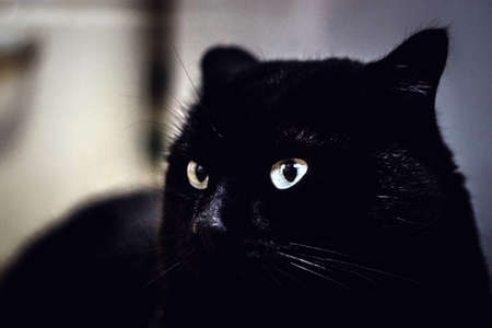 portrait of black cat looking at camera yellow eyes pet