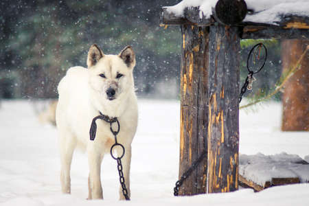 white dog on a chain in winter