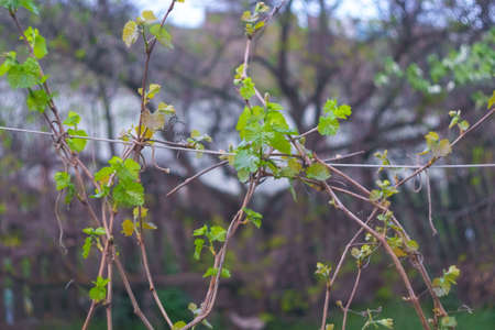 the grape vine leaves the first garter grapes