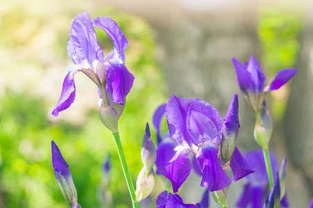 beautiful lilac flowers irises in early spring Фото со стока