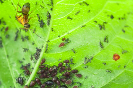 insects aphids on leaves parasites Фото со стока
