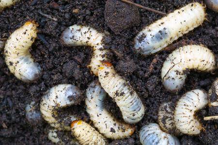 the larva of the may beetle closeup
