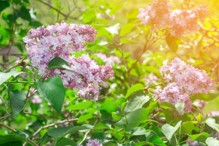 flowering lilac flowers branch spring. on a Sunny day, light up the flowers in the garden Фото со стока