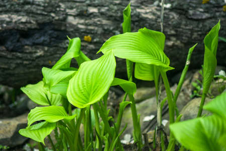 host plant leaves in the garden outdoors in the spring