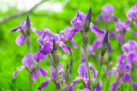 flowers irises blooming in spring in the garden purple flowers