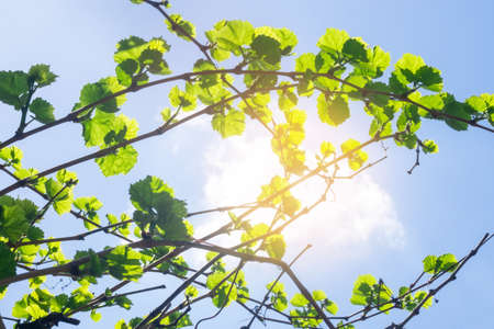 vine leaves on a natural background on a bright Sunny day against the sky vineyard