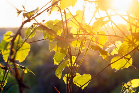 vine leaves at sunset, agriculture, the wine industry a bright Sunny day Фото со стока