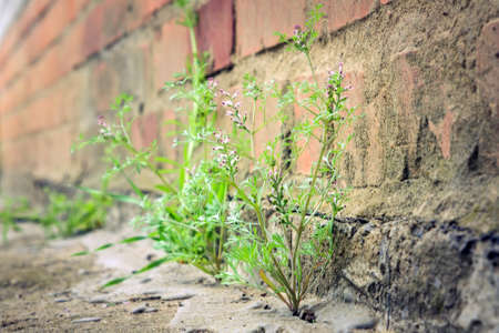 plant grows from concrete. Near home, achievement, victory struggle life Фото со стока