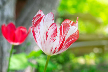 red white Tulip flower close-up on natural background blooming Sunny day outdoors