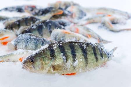 winter fishing perch in winter on a frozen lake.winter sports hobby Фото со стока
