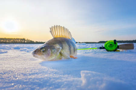 winter fishing. perch catch in the North. catching fish