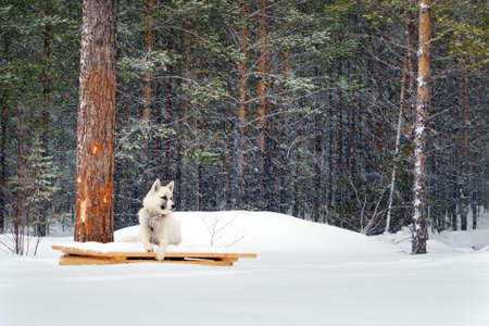 white dog Laika on a chain in the forest in winter Standard-Bild - 125152973