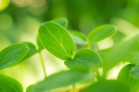 Les feuilles des semis de concombre libre d'une plante en croissance