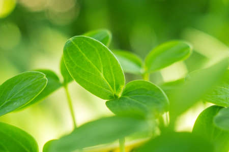 Sämling Blätter der Gurke Nahaufnahme einer wachsenden Pflanze
