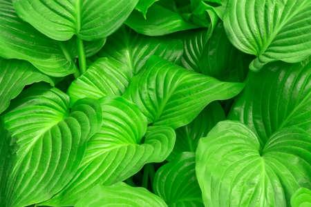 the host plant in the garden is an ornamental plant. Gardening decor. 版權商用圖片
