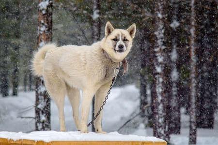 white dog winter on chain winter snow bad weather Standard-Bild - 127132297
