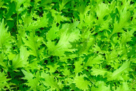 green salad arugula background texture growing vegetarianism