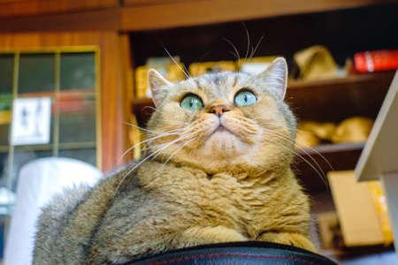 British brown cat closeup portrait pet lying Stockfoto