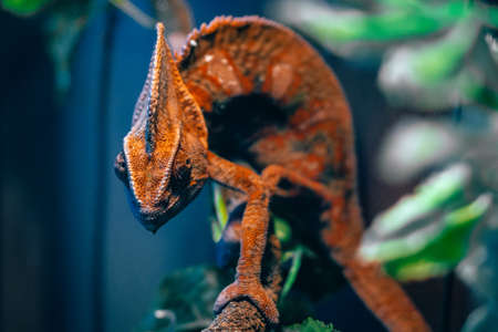 Chameleon red and orange in the close-up of terrarium reptile lizard