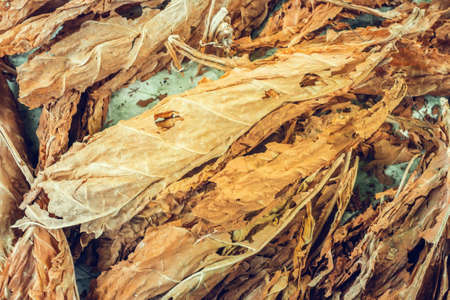 dry tobacco leaves drying tobacco leaf tobacco production bright day Banco de Imagens