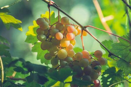 harvest green white grapes organic fruit vineyard for wine