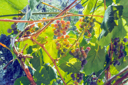 cultivation of black grapes harvest on a tree branch