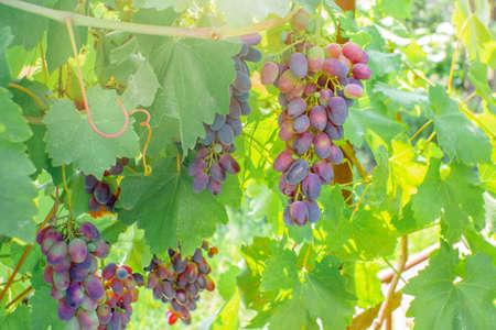 ripe black grapes harvest vineyard Banco de Imagens