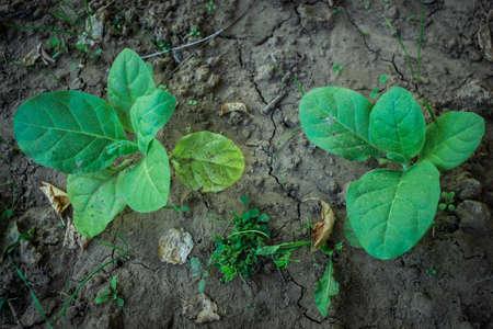 growing tobacco green tobacco in the field Banco de Imagens