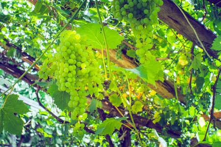 harvest green white grapes organic fruit