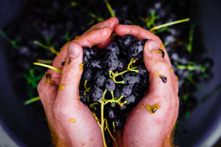 crushed grapes in the hands of a farmer. making homemade wine in autumn