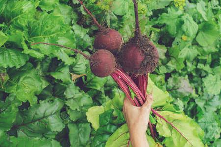 harvesting beets holding organic food