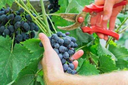 cut the ripe grapes in the autumn