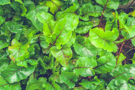 natural background of green beet leaves