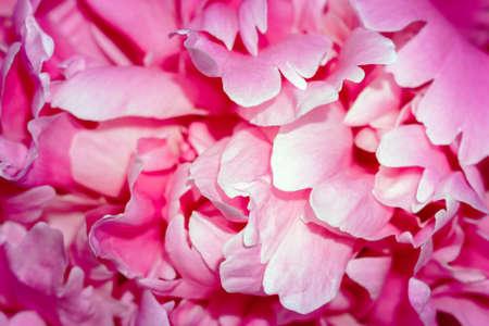 pink flower petals close up