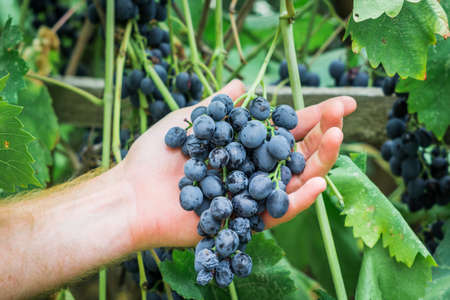 harvest of ripe black grapes in the farmers hand