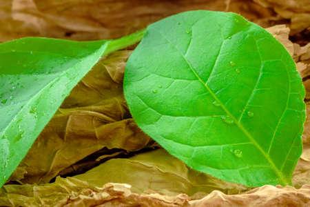 green tobacco leaves dried tobacco leaves