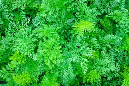 natural background from green leaf of the carrot texture
