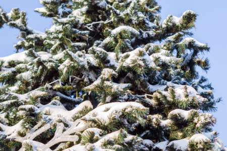 snow on Christmas tree branches in winter