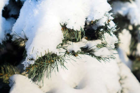 Christmas tree branches under the snow against the sky. Snowy spruce in the winter forest. Winter holidays and walks in the forest. Place for text. Banco de Imagens