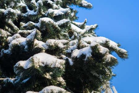 branches of a green Christmas tree in the snow, place under the text. against the blue sky in winter