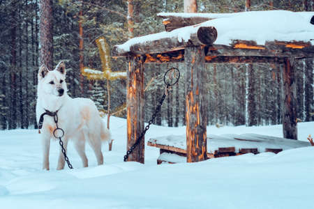 white dog on a chain in the forest in winter. Banco de Imagens