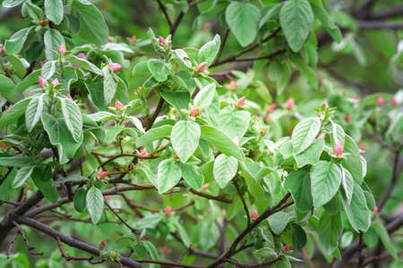 quince flowers and green leaves on tree branches.