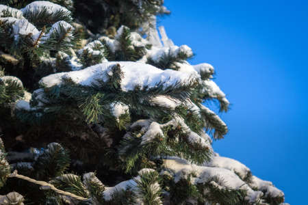 Conifer branches with needles covered with white frost on blue sky background. Christmas and New Year holiday concept. Snow-covered tree branch, space for text