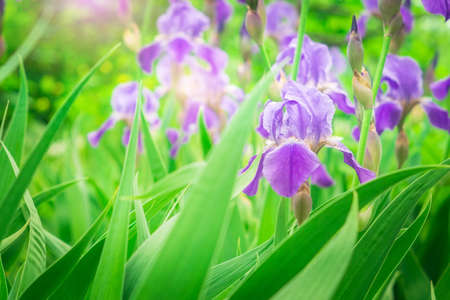 purple irises flowers on natural green background.