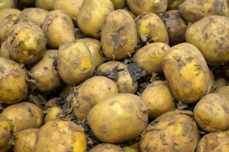 Fresh potatoes. Harvesting in the field. Close-up. Background Texture