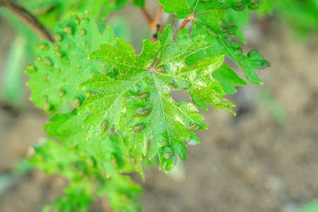 grape leaves disease infected vineyard grape plant disease