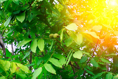 walnuts on the tree at sunset. Tree of walnuts. Green leaves background