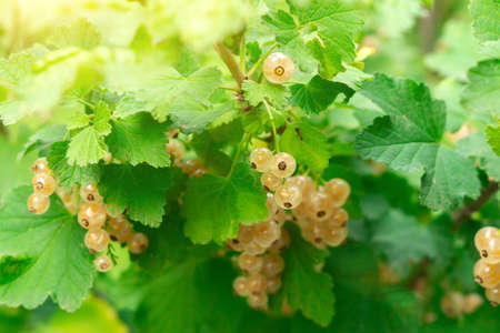 branches of a bush with clusters of white currants fruit