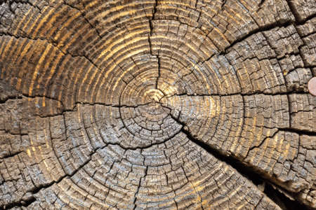 Rough organic texture of the rings with close up of end grain. texture of an old tree