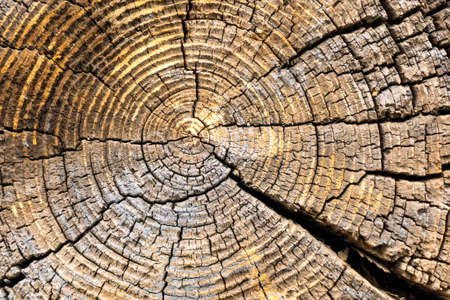 cut end of a log showing the concentric pattern created by the growth rings. Wood texture of cut tree trunk close-up. Close-up of a slice of a elm tree trunk.
